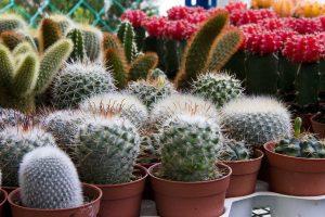 mini-cactus-755542_1280